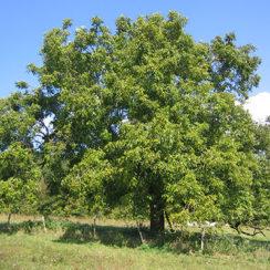 Дерево орех